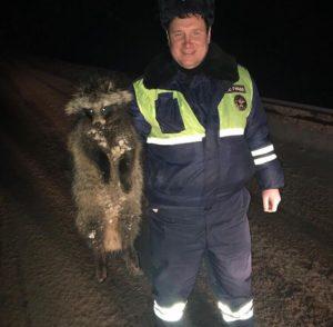 Инспекторы ГИБДД Можайска нашли енота на дороге